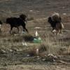 Богд ууланд зэрлэгшсэн нохойн устгал энэ сарын 19-нөөс эхэлнэ
